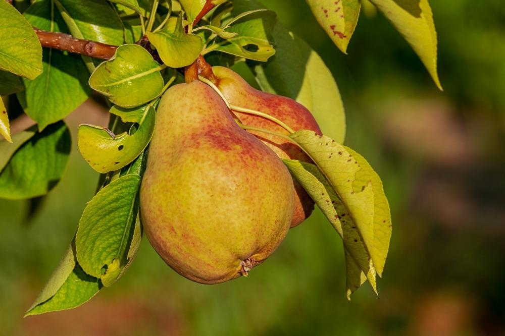 pear-3560106_1280