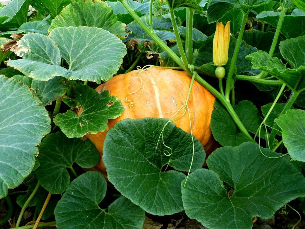 Pumpkin growing in a pumpkin patch.